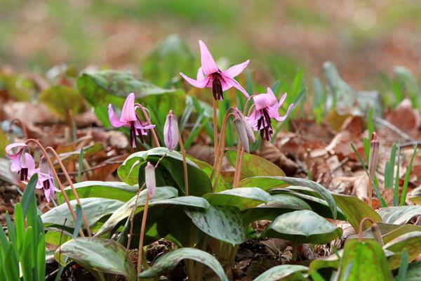 【佐野市】かたくりの花まつりが3月に開催!150万株のカタクリが咲き乱れます