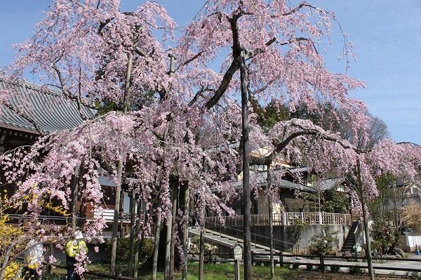 【栃木市】太平山桜まつりが開催されます