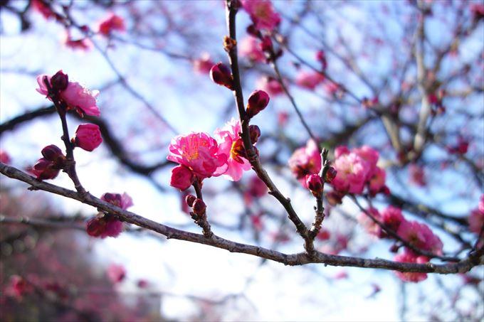 寒紅梅の花びら