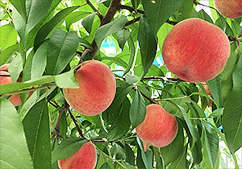 いちごの里のフルーツ狩り
