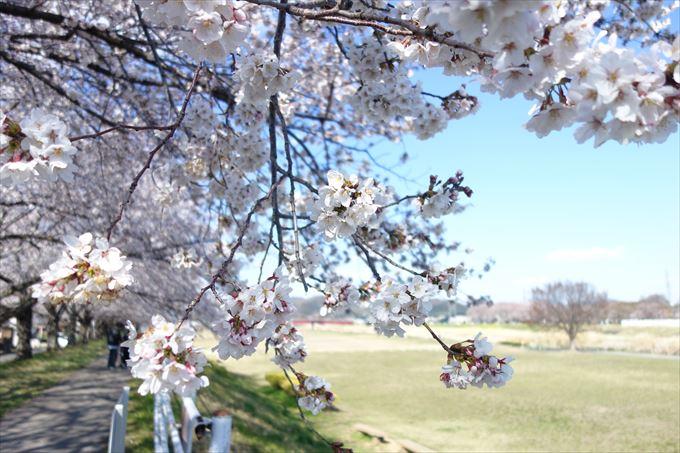 秋山川の桜アップ
