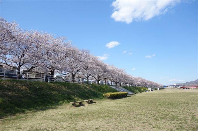 秋山川の桜堤