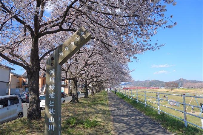 秋山川の桜のトンネル