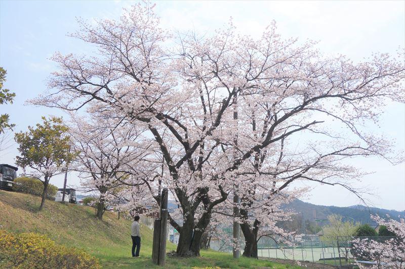 嘉多山公園の桜(南側の階段付近)