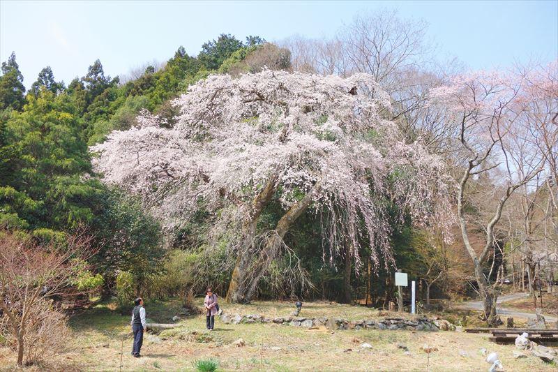 関場のしだれ桜(正面)
