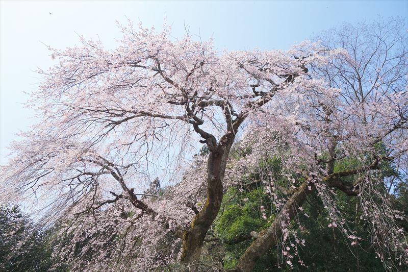 関場のしだれ桜(アップ)