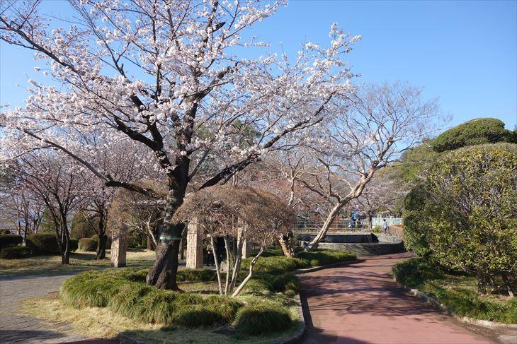 城山公園の桜1
