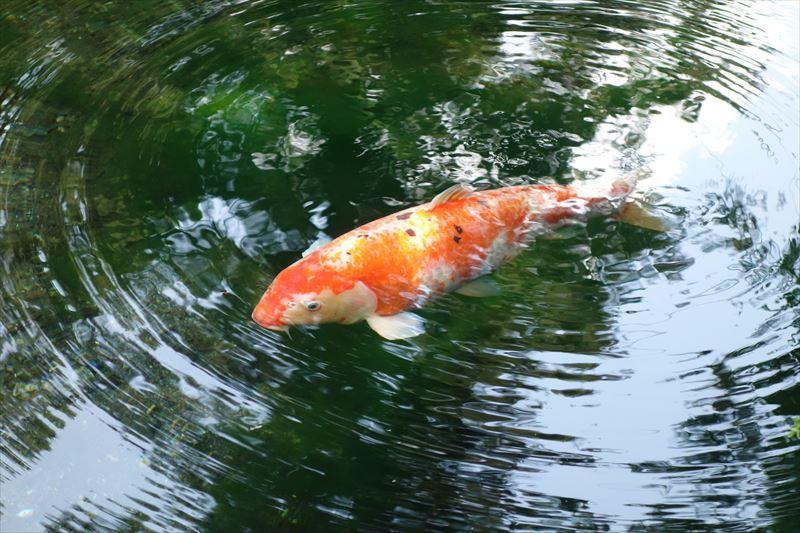 出流原弁天池の鯉