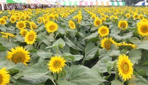 野木町ひまわりフェスティバルの開催日と内容、行った人の感想をチェック!