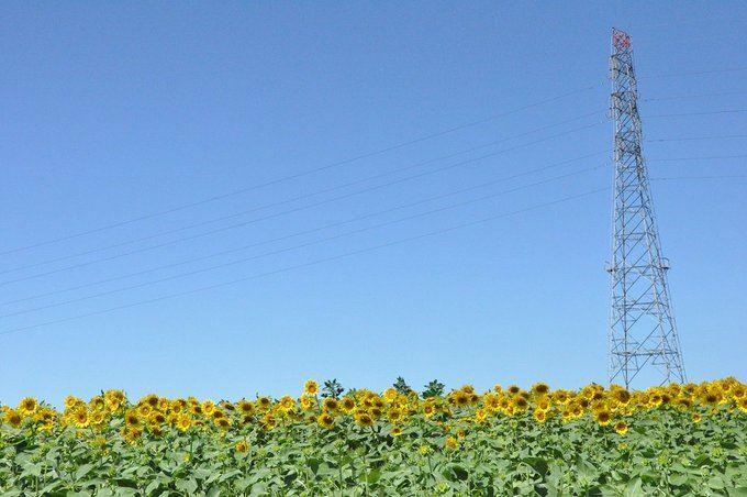 アグリタウンのひまわり畑