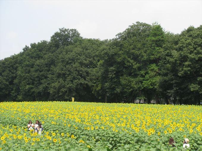 上三川町のひまわり畑