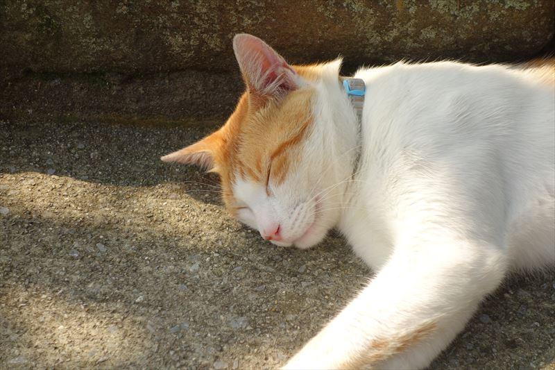 唐沢山神社の境内で寝るネコ