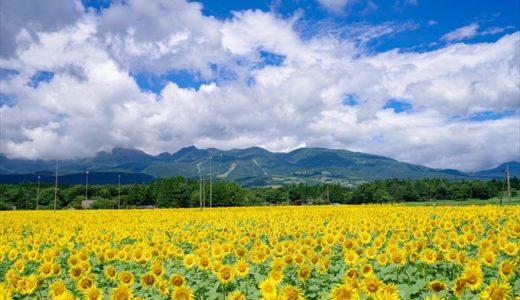 栃木県で人気の「ひまわり畑」まとめ!ひまわり祭りやフェスをやっているスポットも