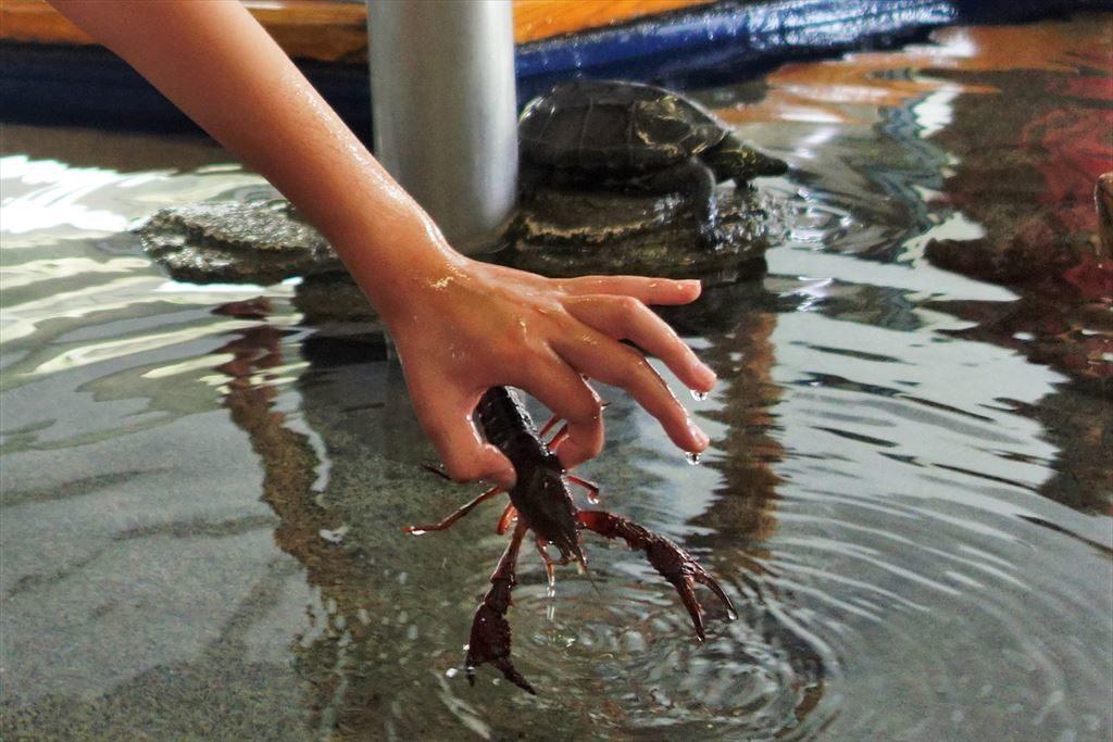タッチング水槽エリアのザリガニ