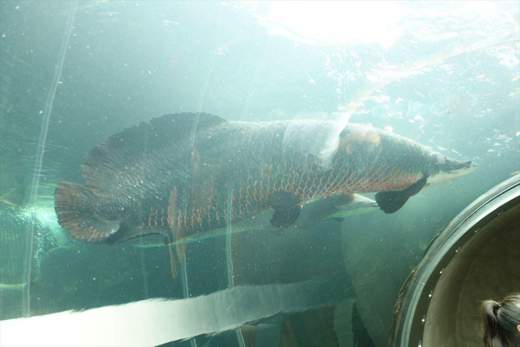 「ピラルクー」という世界最大級の淡水魚