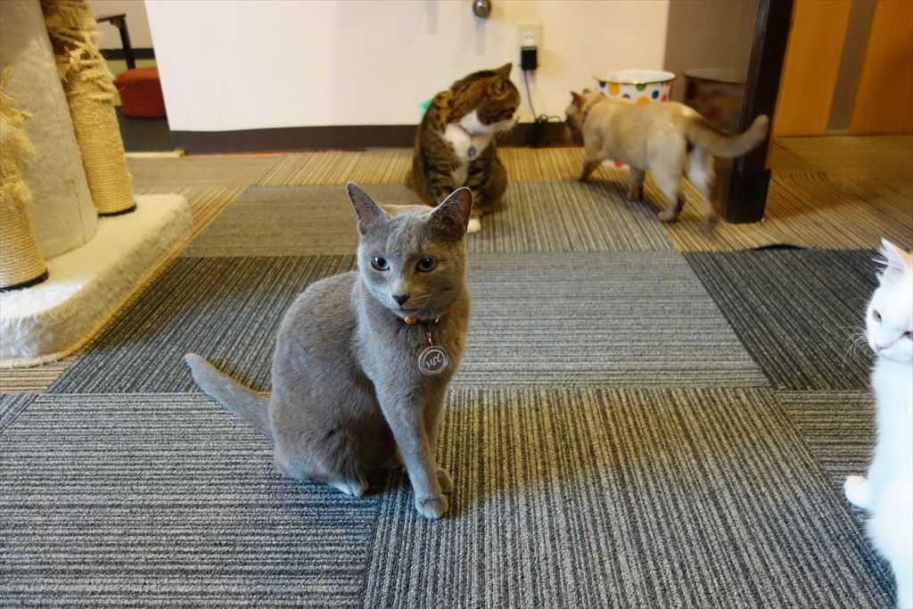 アミパ猫カフェの猫たち