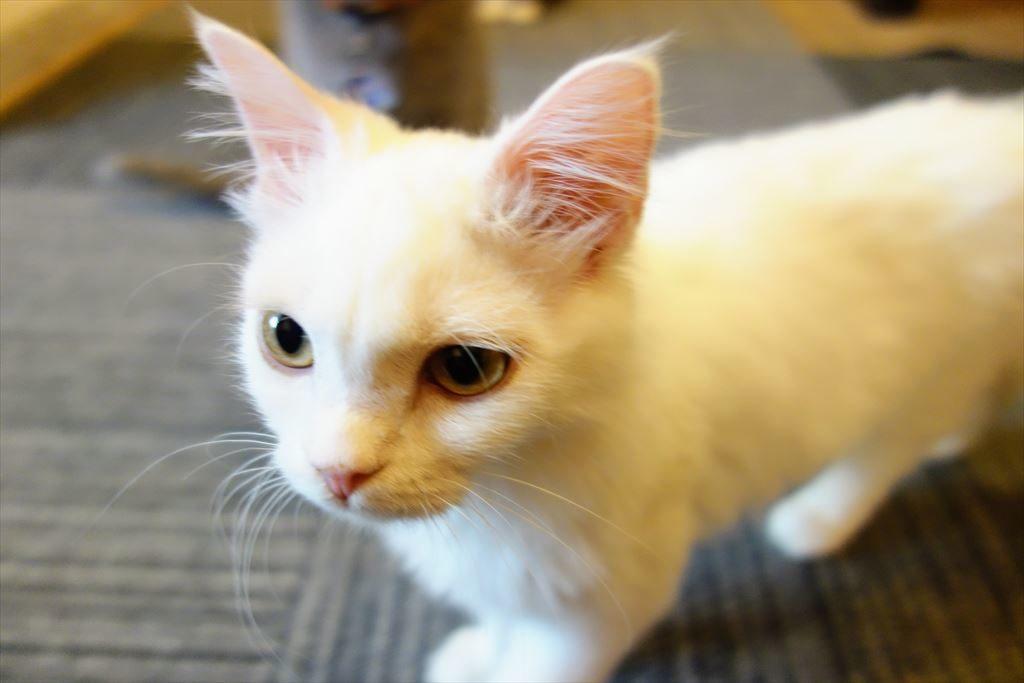 アミパ猫カフェの子猫
