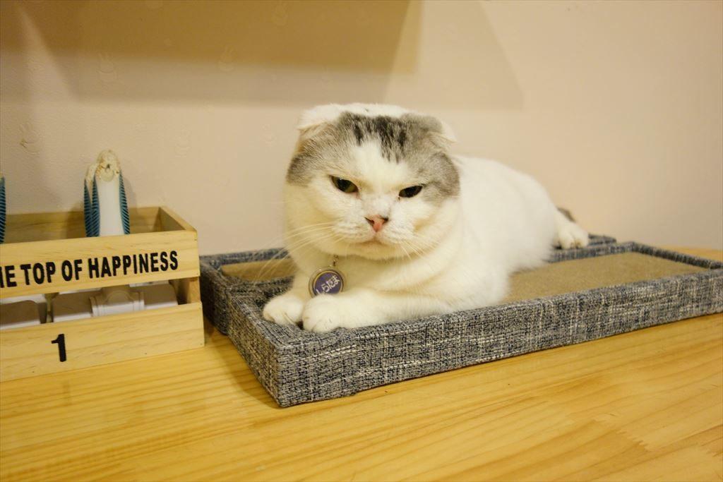 アミパ猫カフェのワイモバイルのCMに似ている猫