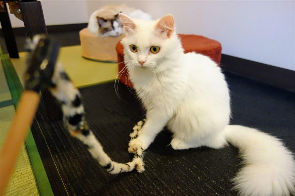 アミパ猫カフェの子猫と遊ぶ