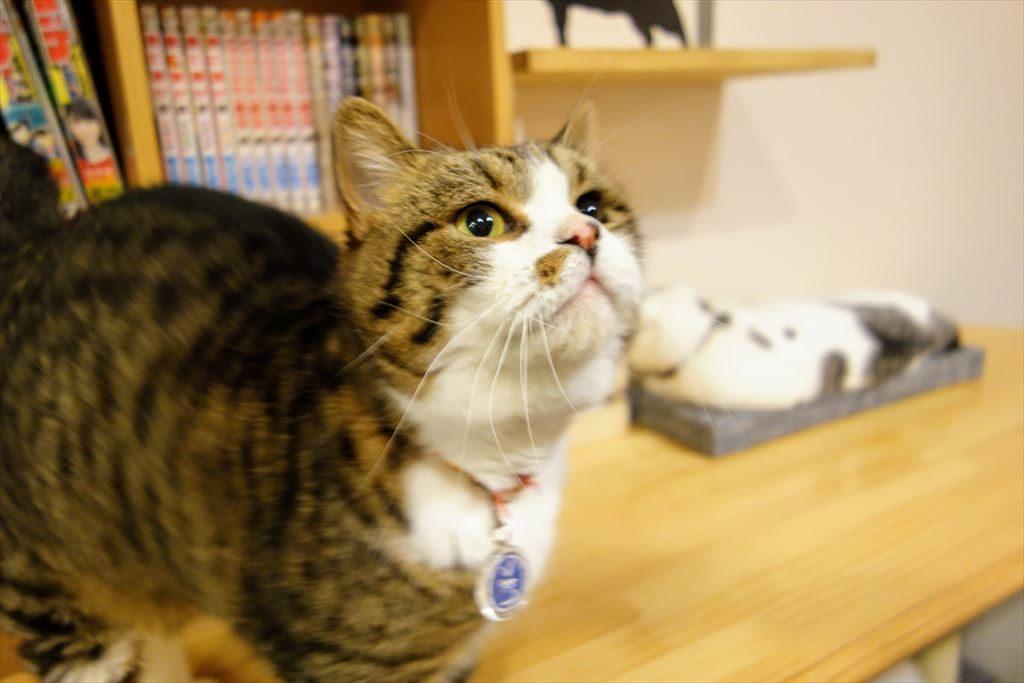 アミパ猫カフェの猫