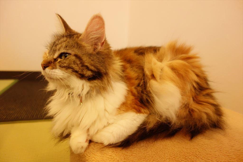 アミパ猫カフェの猫(メインクーン)