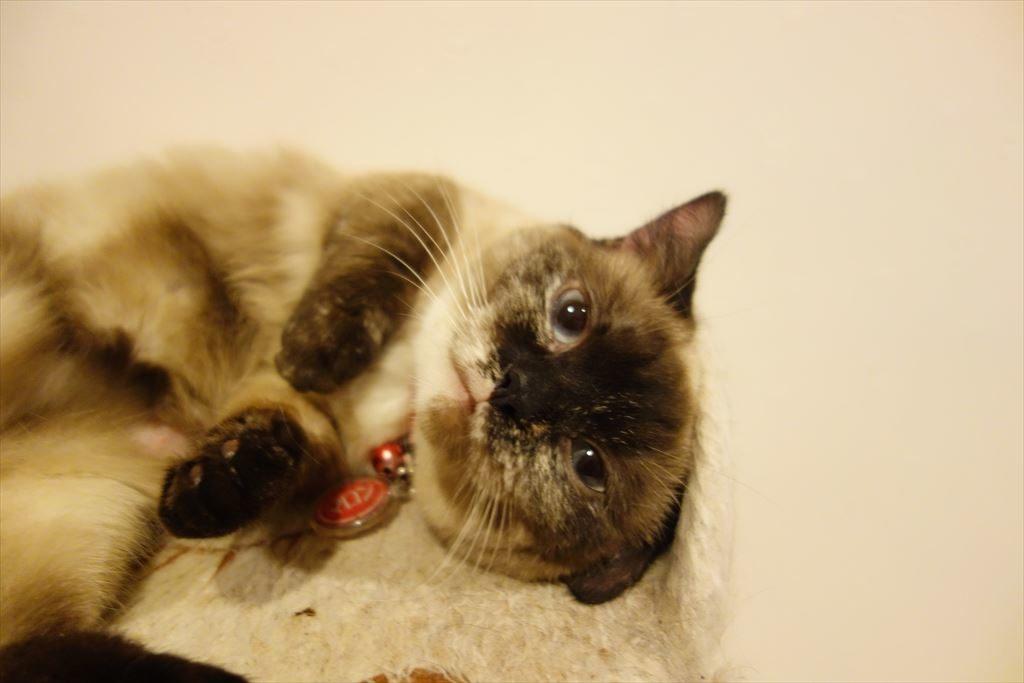 アミパ猫カフェでゴロゴロする猫