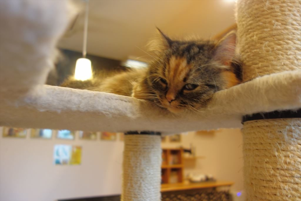 アミパ猫カフェのキャットタワーで寝る猫