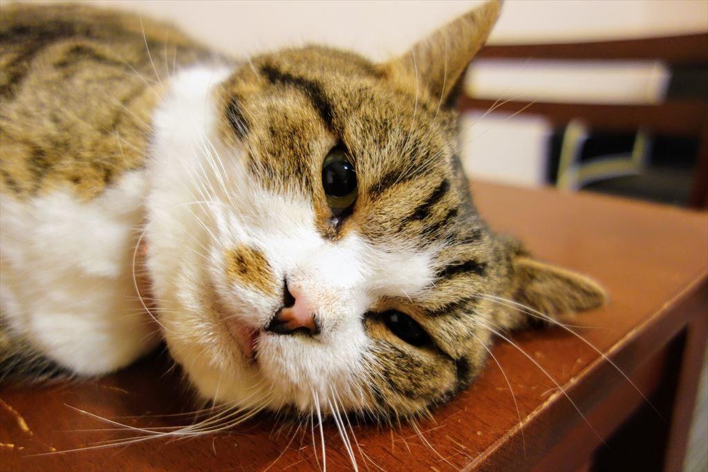 アミパ猫カフェの猫を接写