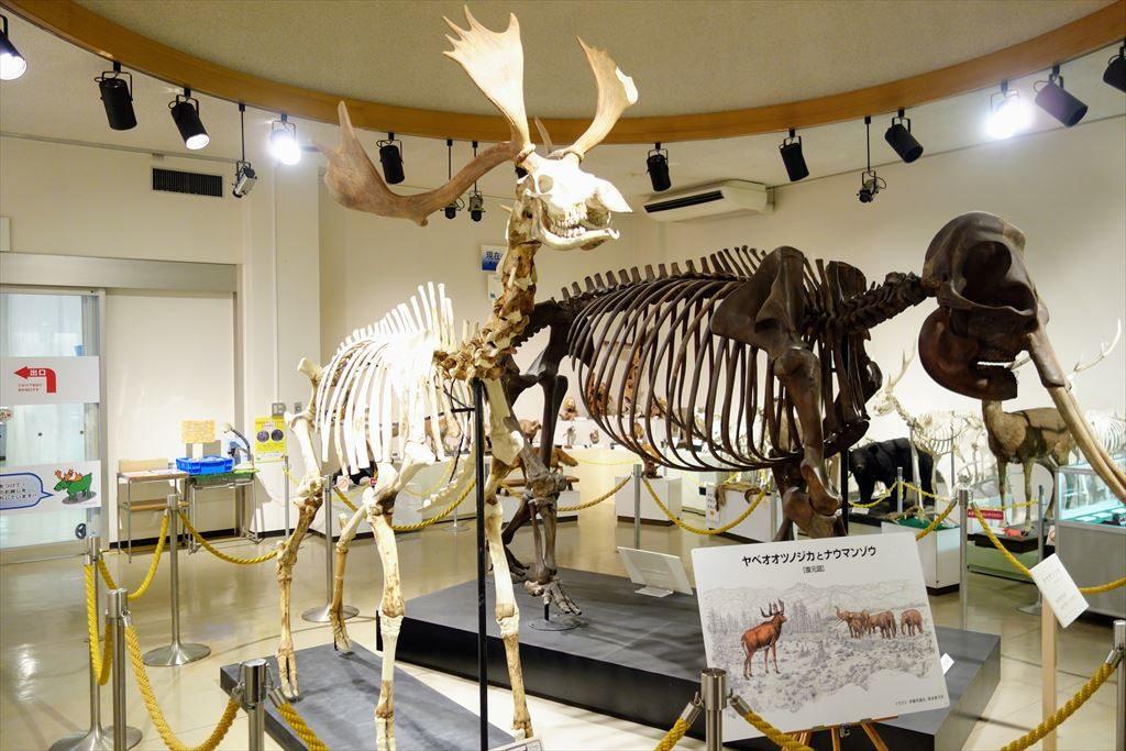 葛生化石館に展示してあるヤベオオツノジカとナウマンゾウの復元骨格
