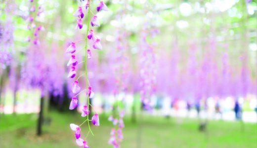 あしかがフラワーパーク|年間の見どころと花の見頃時期を季節ごとに紹介します