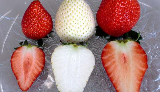 栃木の白いちご「ミルキーベリー」ってどんな味?特徴や食べた人の感想を紹介