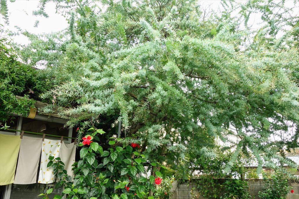 いもふらい大しまの店前にある「ミモザ」の木