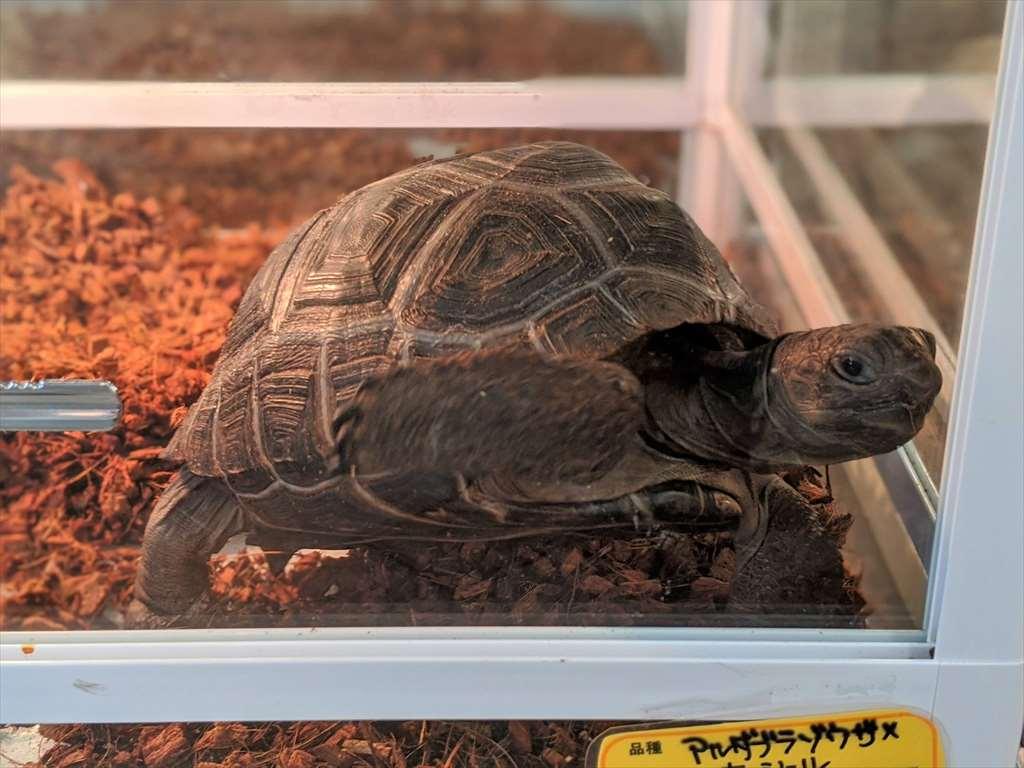 爬虫類ショップKENNYで売っているカメ