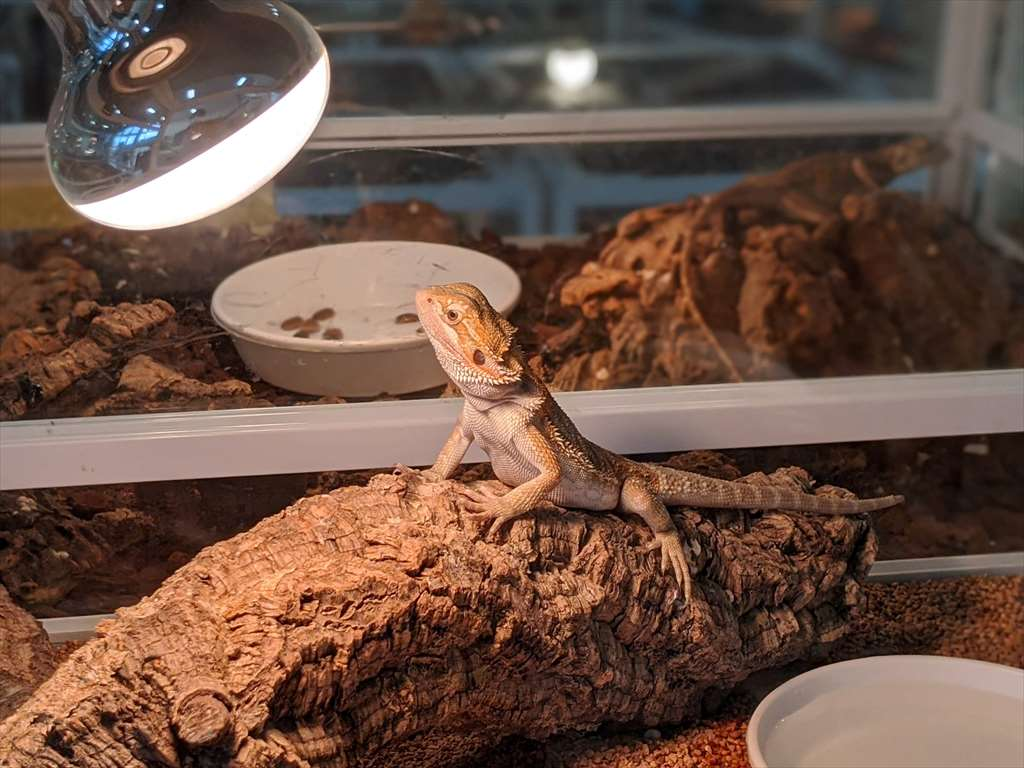 爬虫類ショップKENNYで売っているフトアゴ
